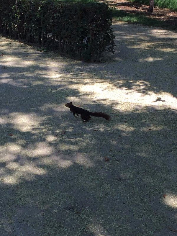 Red Squirrel in Parque De El Retiro, Madrid