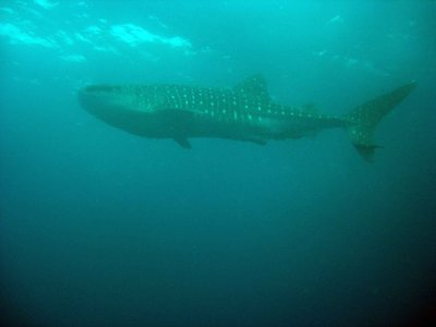 Whaleshark sideon