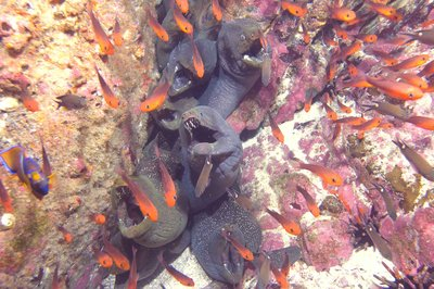 Group of morays