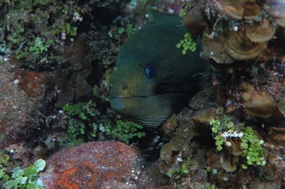 Moray in wreck