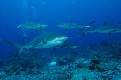 Group of reef sharks