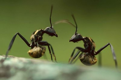 Gold ants fighting
