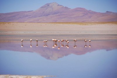 Mirrored flamingoes
