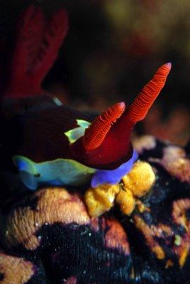 Nudibranch head