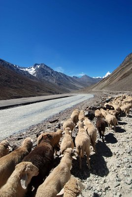 Shepherding in Spiti valley