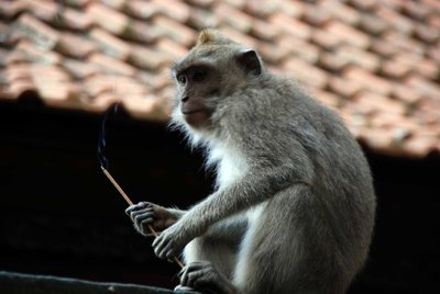Temple monkey with incense