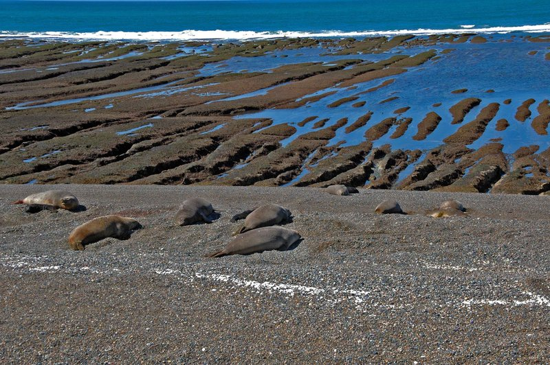 Elephant seal colony