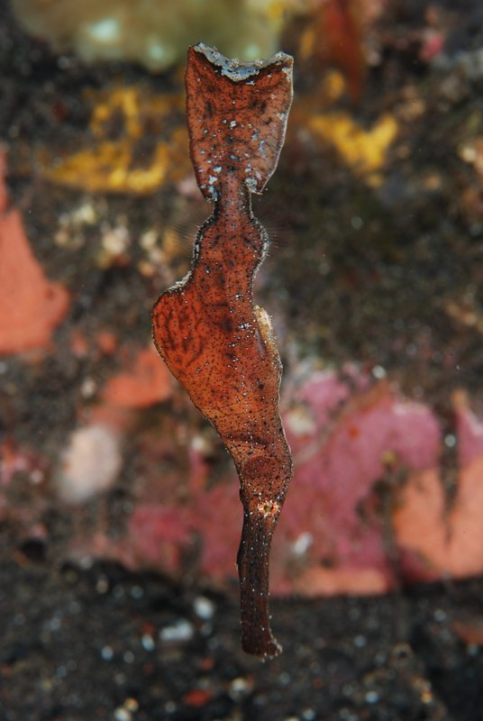Ghost leaf pipefish