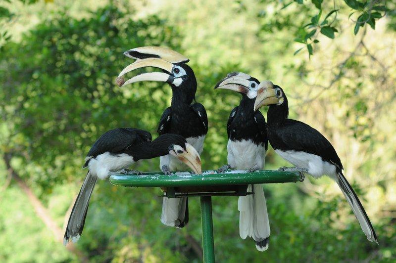 large_hornbills.jpg