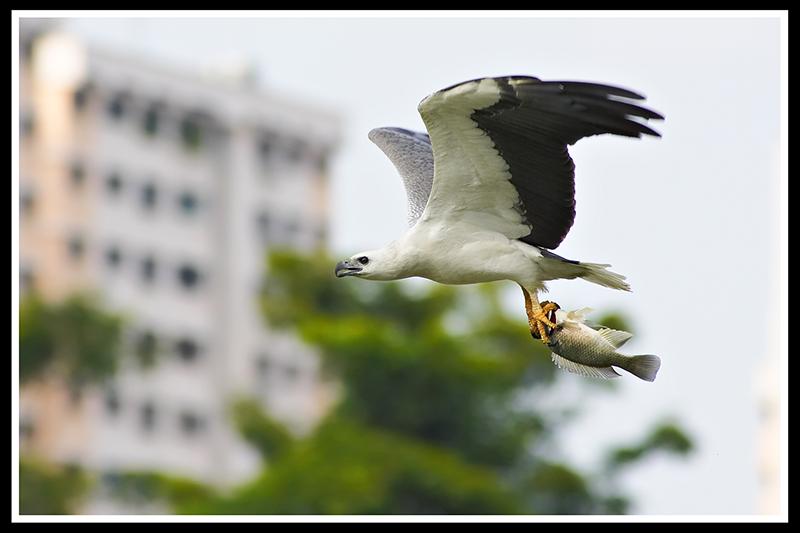 large_white_bellied_sea_eagle.jpg