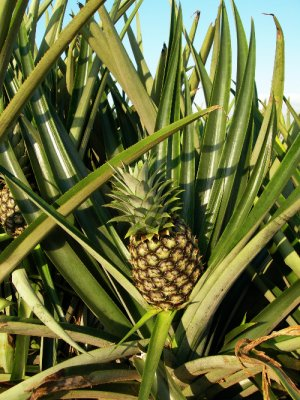 GH5_PineappleClose2.jpg