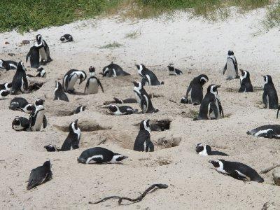 Penguins, Cape of good hope