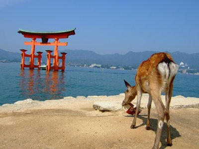 A deer eating cardboard in Miyajima