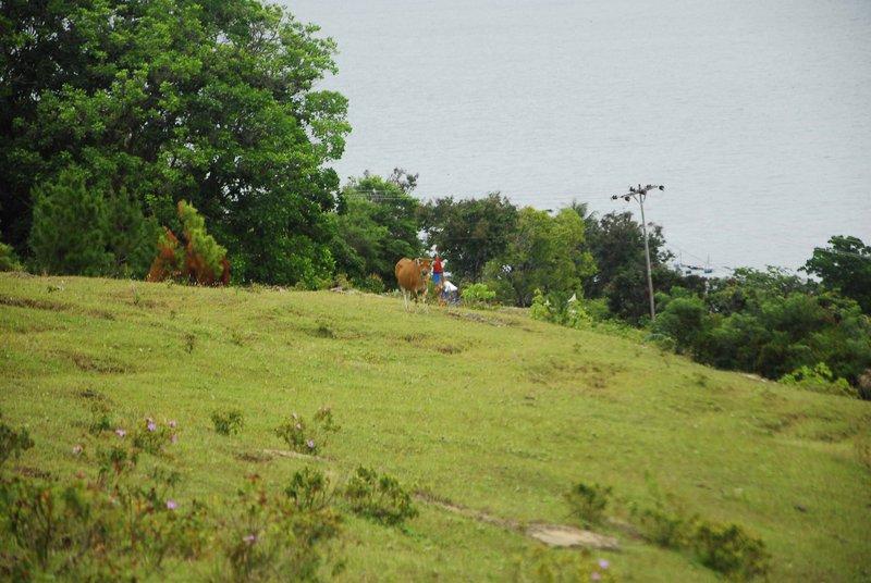 large_Cow.jpg