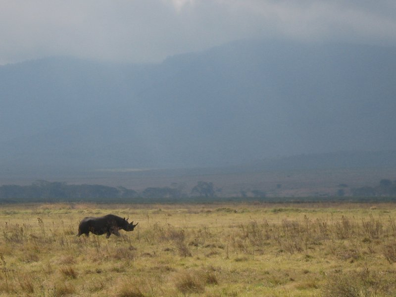 Black Rhino in Ngorongoro