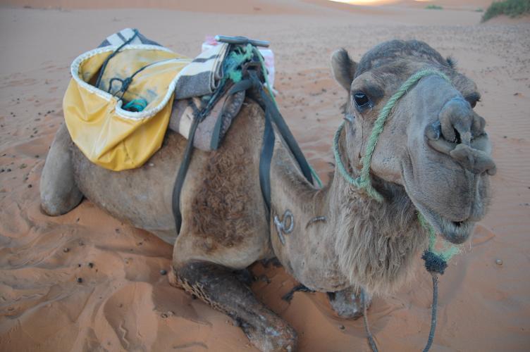 Camel number 2