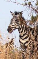 Zebra in Akagera Natl Park