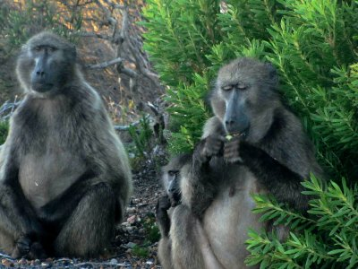 Baboons_Cape Point