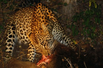 Leopard_eating_baboon