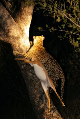 leopard climbing up tree