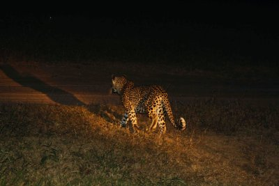safari leopard hunting