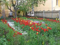 500 Tulips in the garden at the hostel