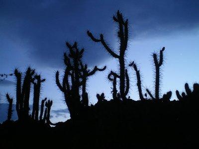 Cuzco cactus
