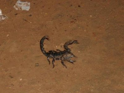 Scorpion in our yard