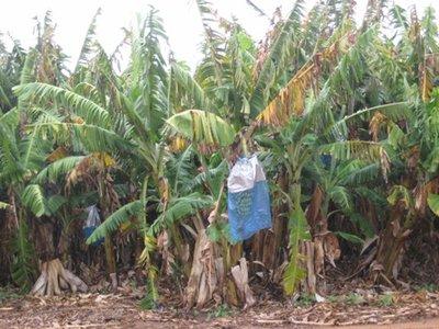 Carnarvon - Plantation Banana 02.JPG
