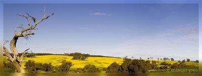 Cannola fields