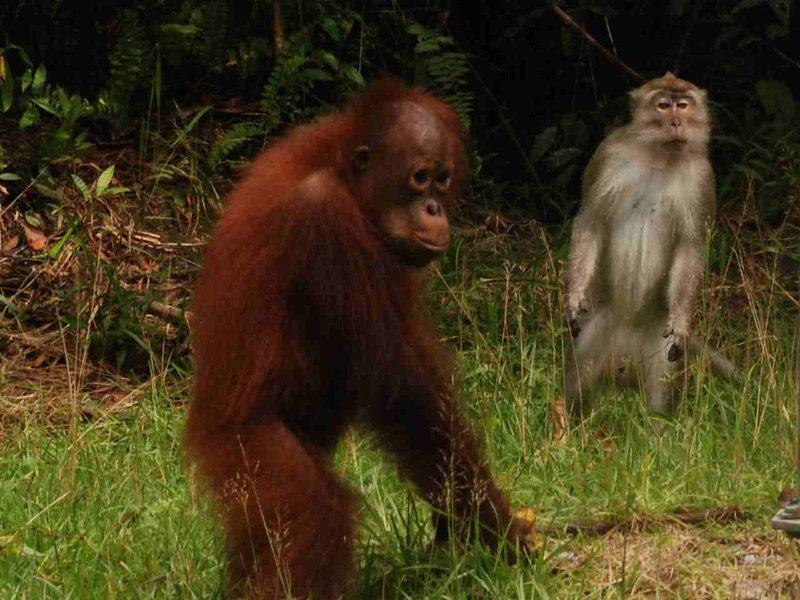 orang and macac