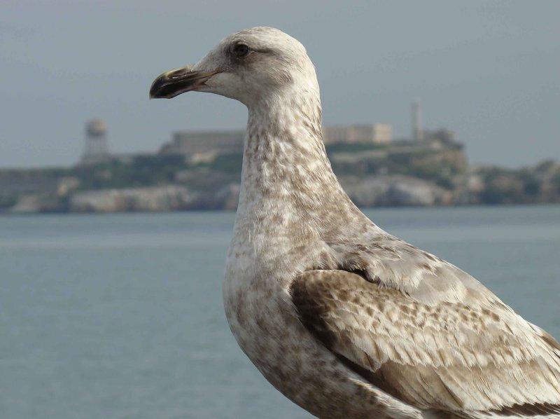 Seagull-and-Alcatraz