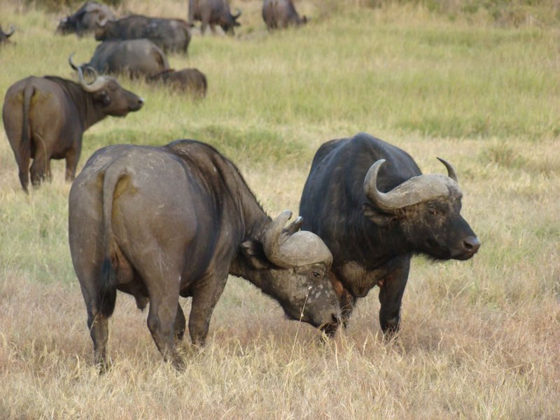 water buffalo