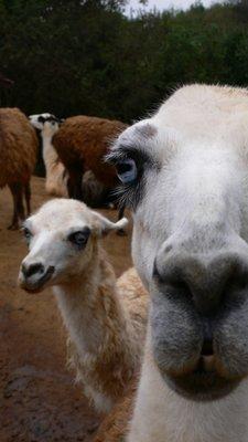 Llamas @ Quiplue Zoo