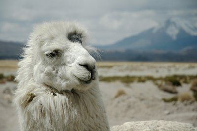 Llama in the Altiplano