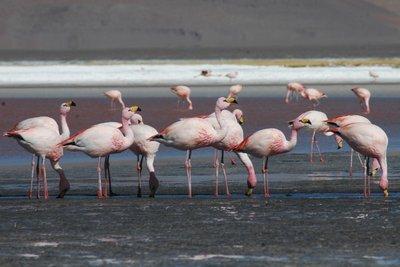 Flamencos, Laguna Colarada