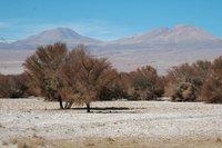 Atacama Trees