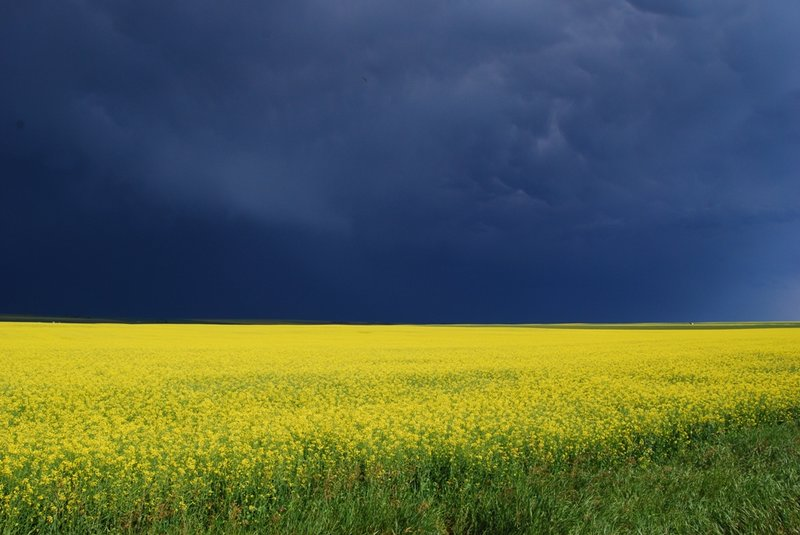 Storm Over Canola Fields 2