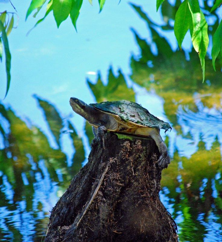 Stump turtle