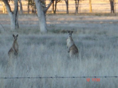 1st wild roos we saw