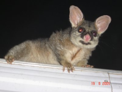mushy the possum