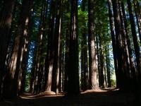 Redwood Forest, Warburton