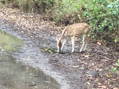 Young Spotted Deer on our track