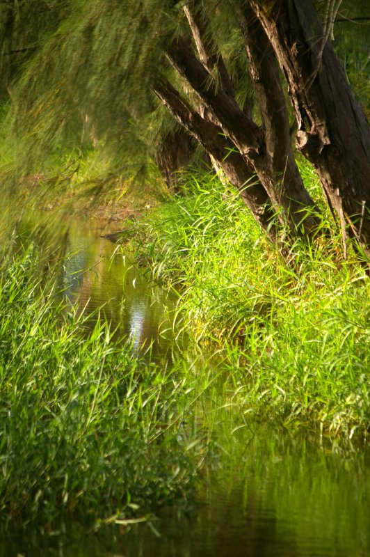 Casuarina Trees and pond marsh in Barbados
