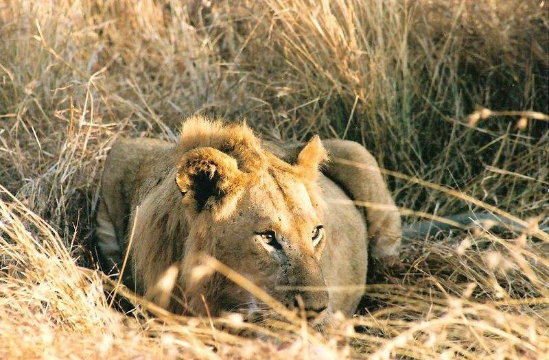 upclose lions
