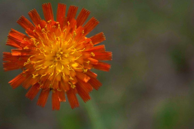 Independent Flower