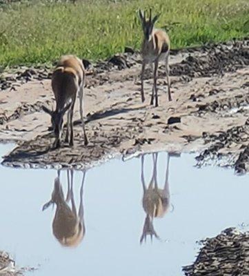 Antelope_drinking_water.jpg