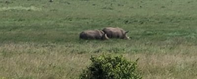 Rare_Rhinos_in_Nairobi.jpg