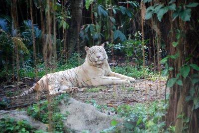 Singapore Zoo - White Malayan Tiger