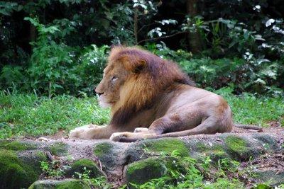 Singapore Zoo - Lions